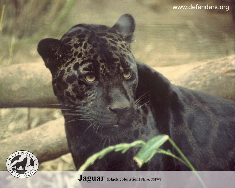 Jaguar Animal. jaguar animal cub.