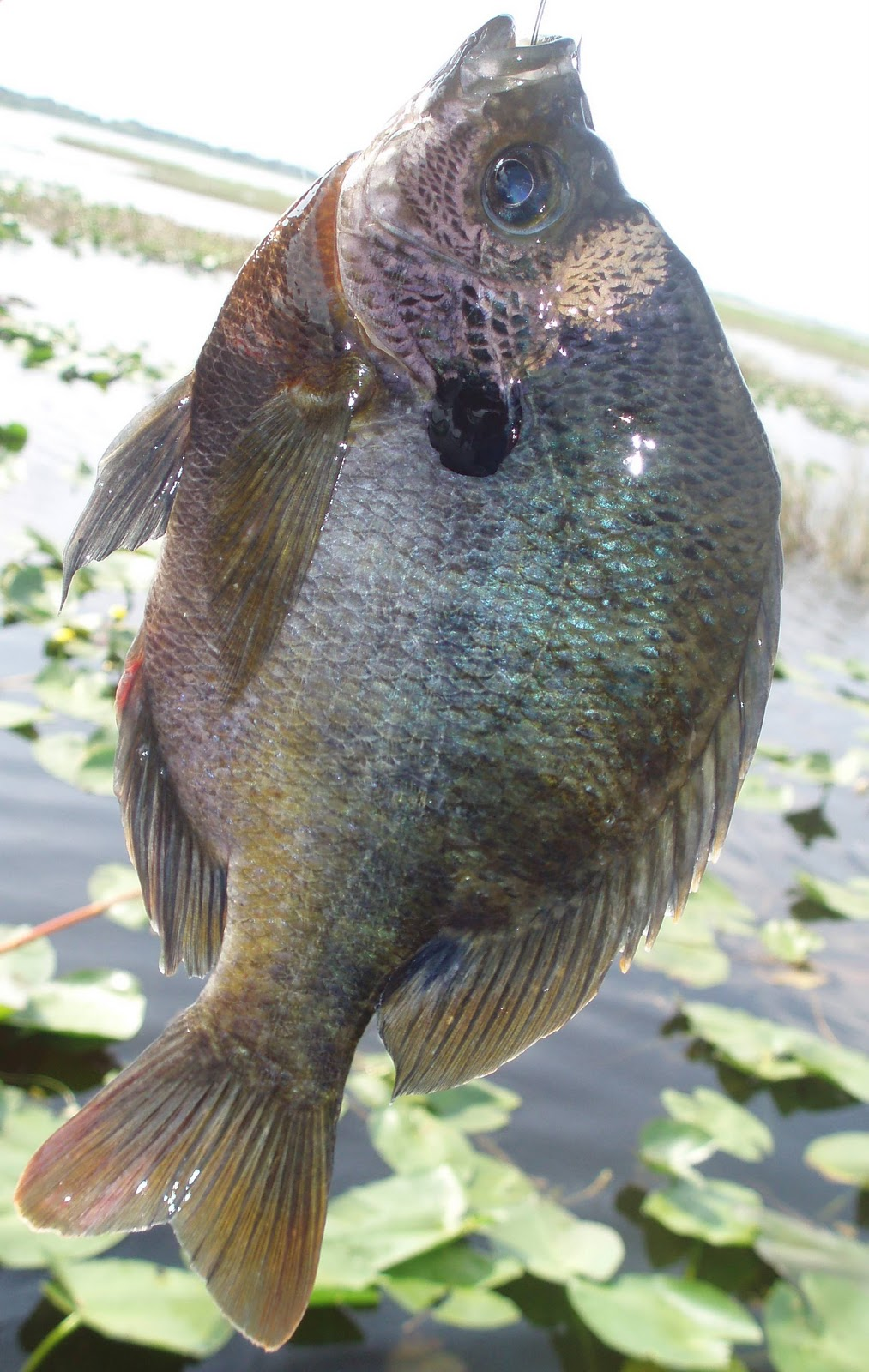 Bassin 39 the net a very fishy blog 10 1 10 for Shell cracker fish