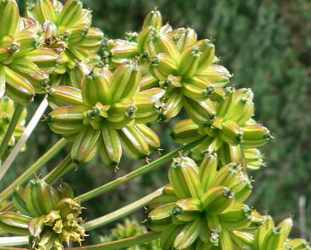 Flora de pirineos molopospermum peloponnesiacum l koch - Banos de benasque ...