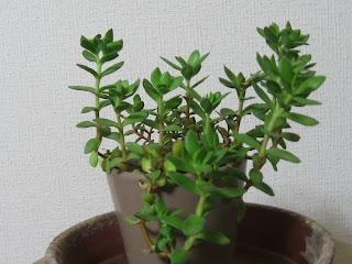 多肉植物A