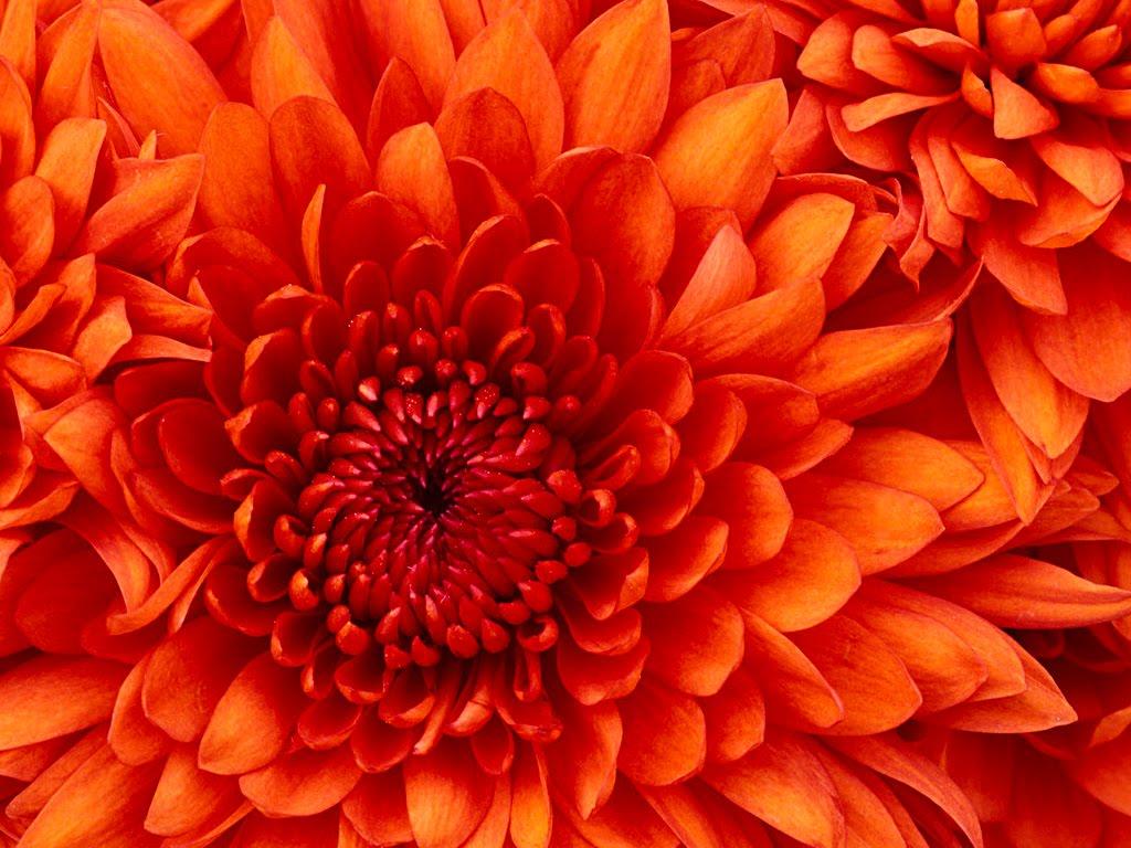http://4.bp.blogspot.com/_vRQt7IgxJWA/S7M25rugnQI/AAAAAAAAADs/EvEu36nDKPw/s1600/Chrysanthemum.jpg
