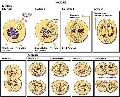2N biologia