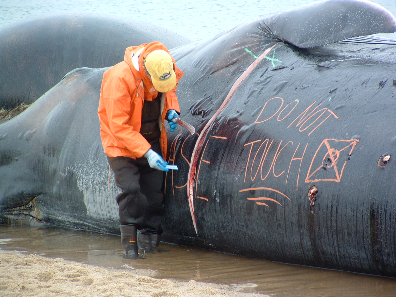 to what extent can the whaling Can whaling be humane there is inherent cruelty in the killing methods applied in commercial whaling although scientific opinion is divided as to the extent of the threat posed to marine mammals by such compounds.