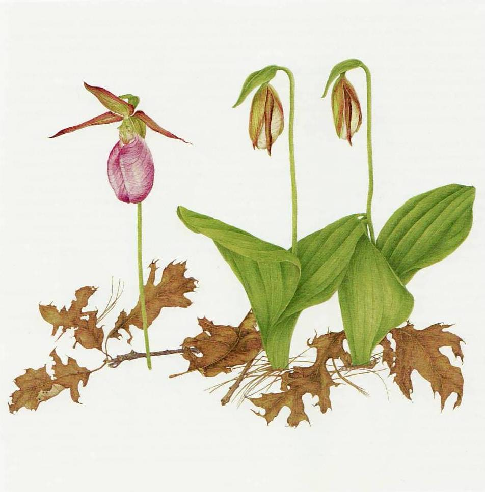 Losing Paradise Pink Ladys Slipper Moccasin Flower Watercolor