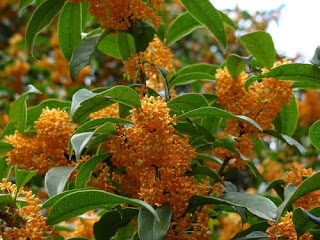 Studies of plants and wildlife showa kinen park nishi for Osmanthus fragrans aurantiacus