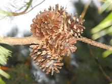 Pine cones...