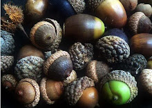 Acorns & oak trees...
