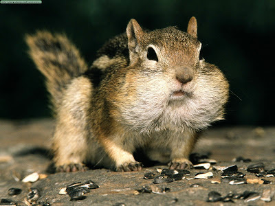 Animals%20Funny_Golden-mantled%20Ground%20Squirrel.jpg