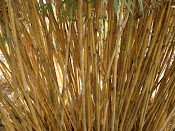 Bambusa Alphonse-Kerr