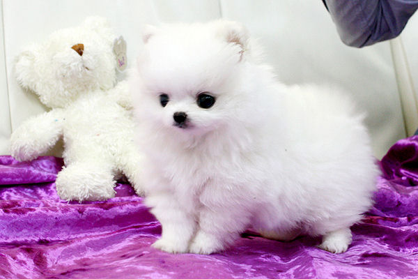 White Teacup Pomeranian Puppies Photo from: