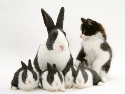 black and white female bunny Images