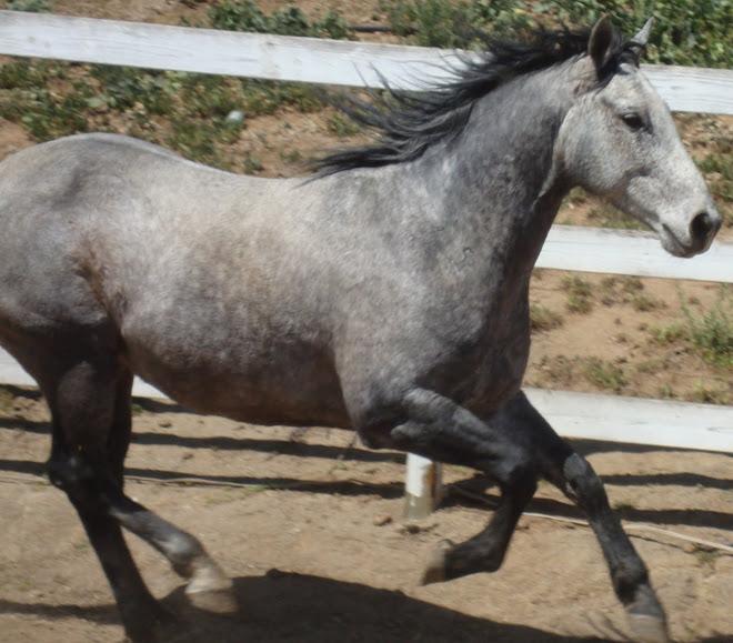 "San ""Tejon"" Tego Rey, King bred reg. quarter horse"
