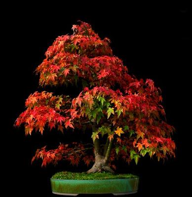 reiners bonsai blog acer palmatum die entwicklung. Black Bedroom Furniture Sets. Home Design Ideas