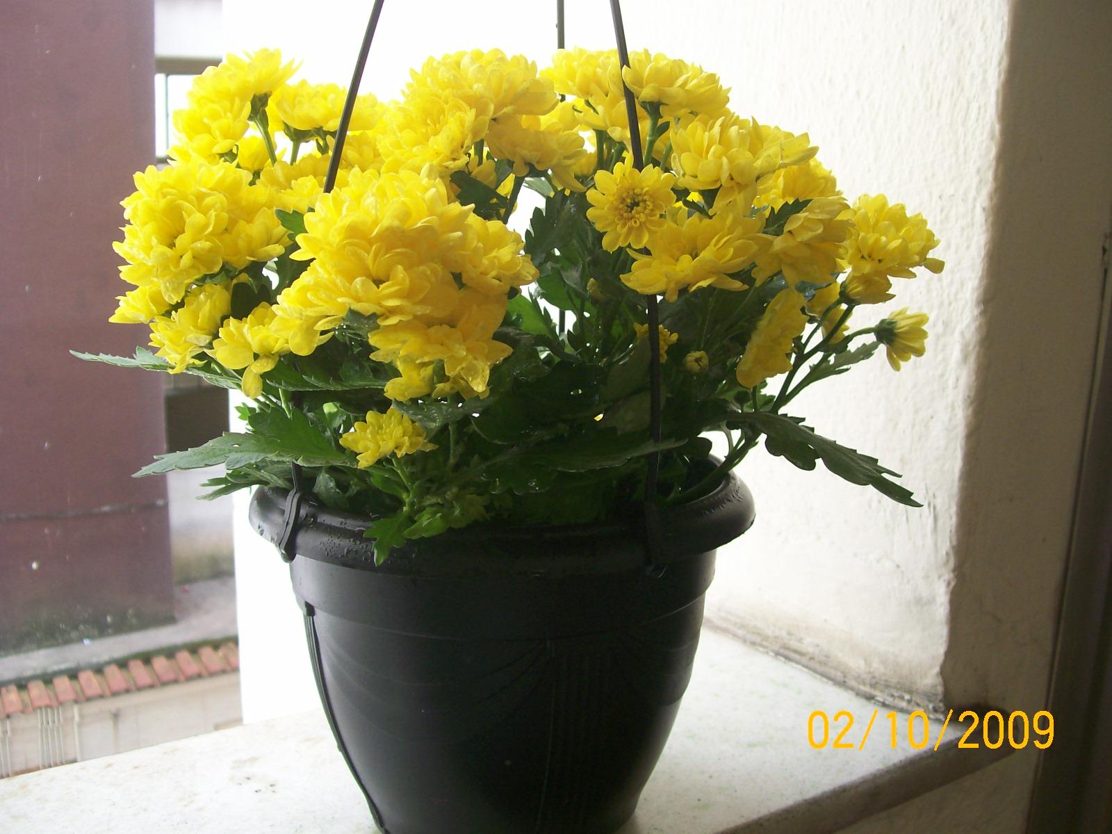 Jardinagem florbeta - Como cultivar crisantemos ...