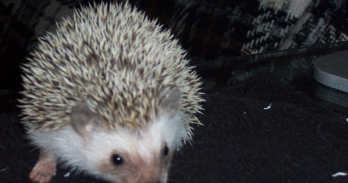 Mad About Pets What Is The Best Bedding For Hedgehogs
