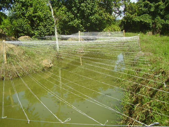 Jovenes rurales emprendedores siembra de alevinos de for Proyecto de piscicultura mojarra roja