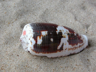 Cone Snail Medical Use | RM.