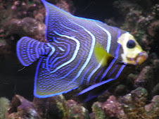 my old angel fish