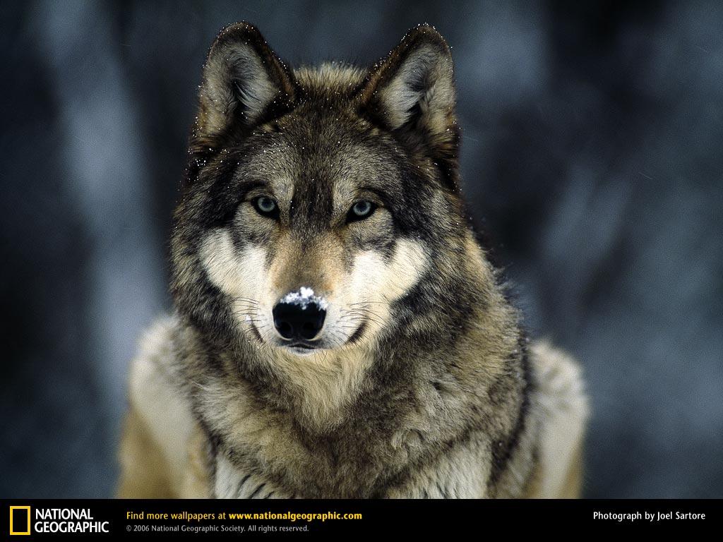 http://4.bp.blogspot.com/_vl6tG98Fgi4/TNl0sE-84DI/AAAAAAAAAY4/Yq8U_6nr3_I/s1600/grey-wolf-snow.jpeg