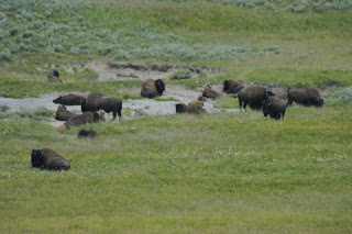 bisons in Yellowstone