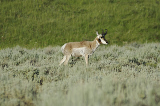 gazelle in Lamar Valley, Yellowstone