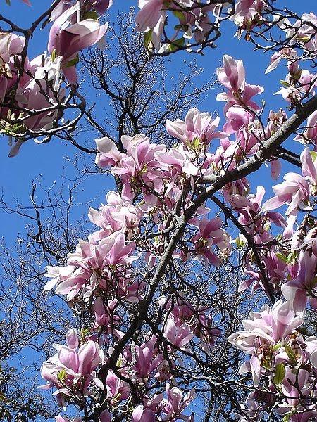 linda vincent magnolia tulip tree. Black Bedroom Furniture Sets. Home Design Ideas