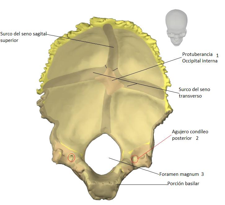 Excelente Hueso Foramen Colección - Anatomía de Las Imágenesdel ...