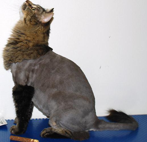 LION CUT - CAT