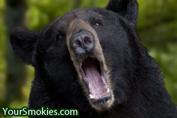 Black Bear Attacks Great Smoky Mountains National Park Visitor on Popular Hiking Trail as Horrified Crowd Watches.
