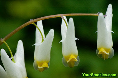 picture of Dutchmen's Breeches taken by the Chimneys in the Great Smoky Mountains national park