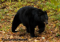 the Great Smoky Mountains national park has more than 2 black bear per square mile