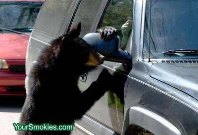 black bear climbs on car in Cades Cove section of the Great Smoky Mountains national park
