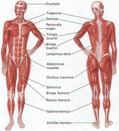 Muscular System Without Labels For Kids - 2018 images & pictures ...
