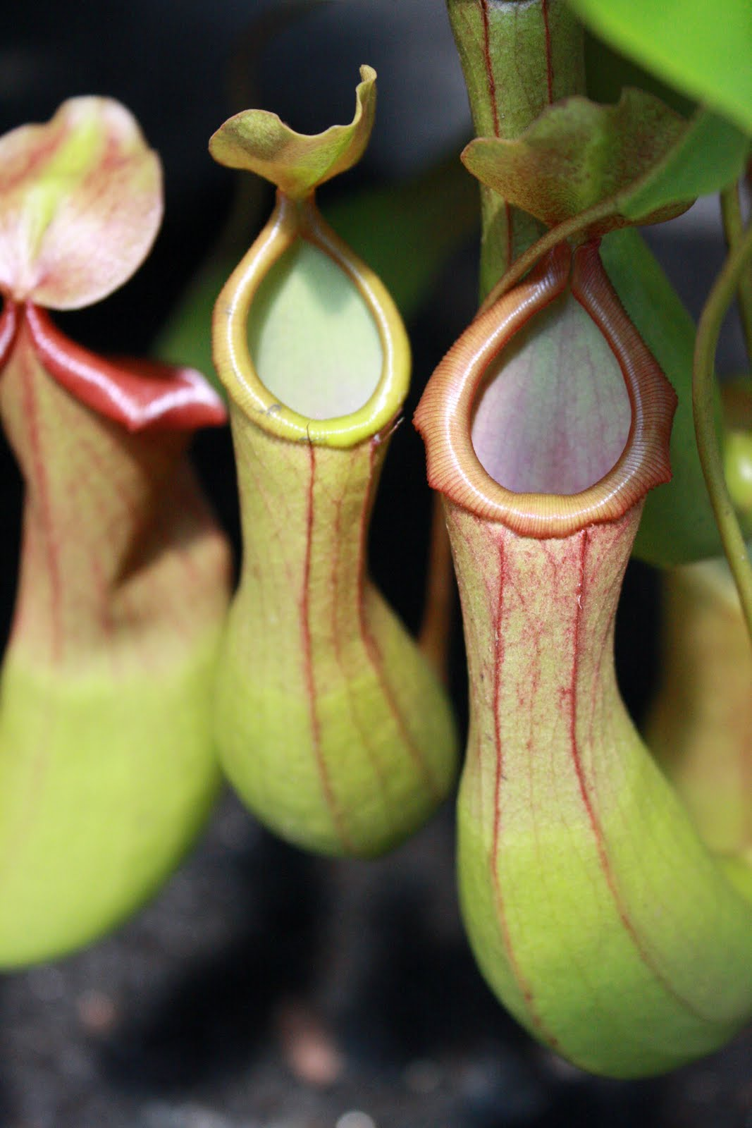how to make a pitcher plant
