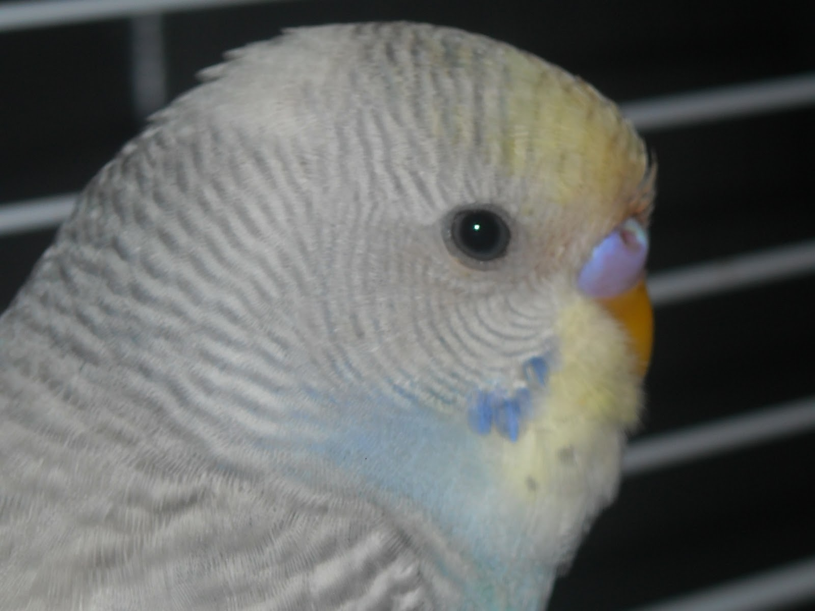 Rare Parakeet Colors Budgie | DiyMid.com