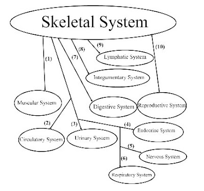 Anatomy/Physiology Assignments: Skeletal System Graphic Organizer