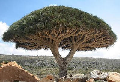 Freaky Stuff - Dragon Blood Tree