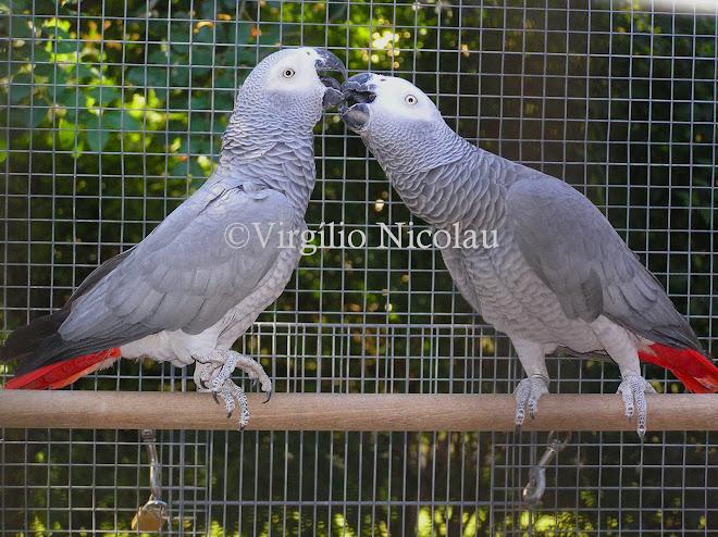 Papagaio cinzento (Psittacus erithacus)
