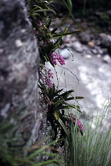 Aerides multiflora Roxb. in Nepal, valley Tatopani-Beni, june 2000