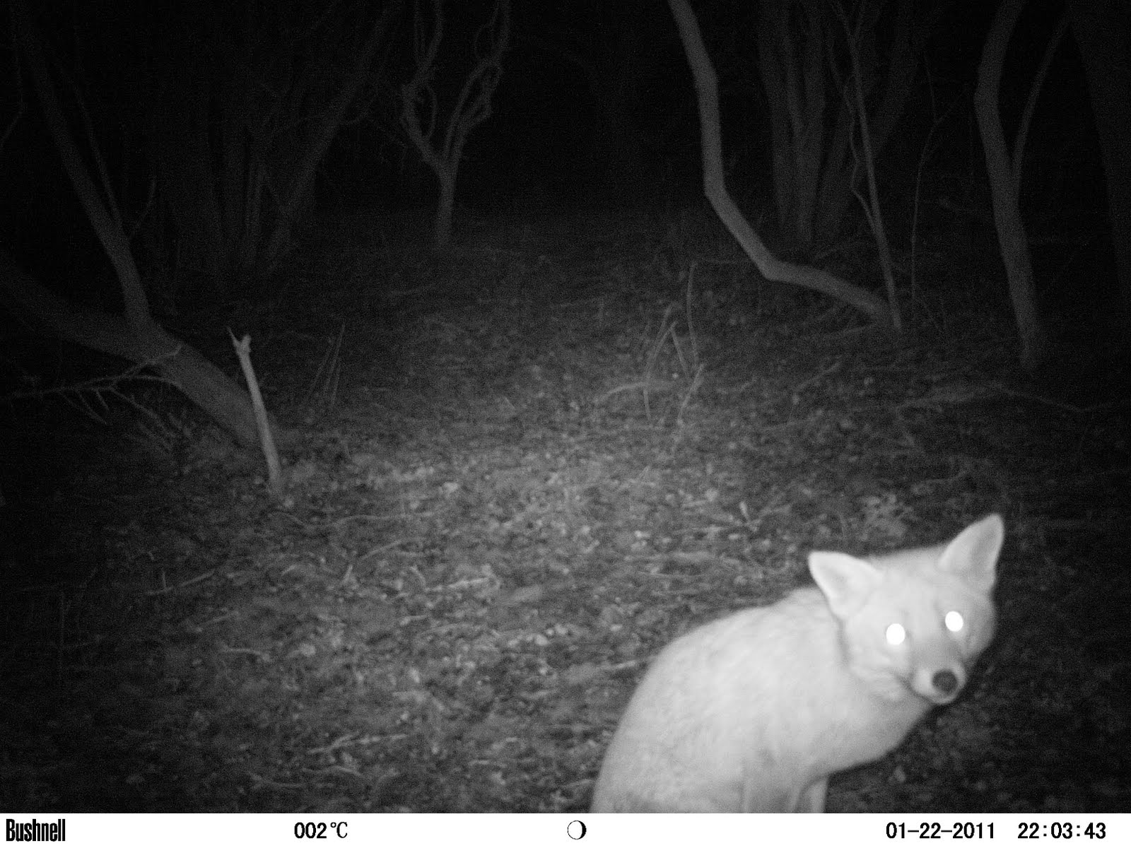 Caper Cat  For Sale