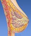 Esquema mamario