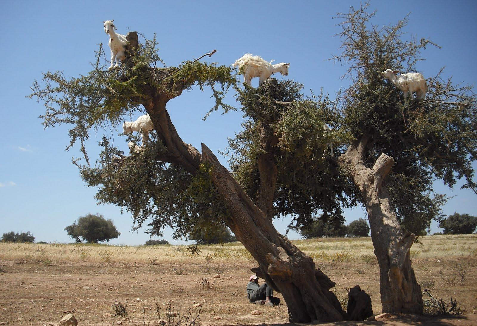 http://4.bp.blogspot.com/_vyC1EvBoZeY/TAEuX1jN5oI/AAAAAAAAAYg/r3jpJE1eeYo/s1600/900+goats+in+trees.jpg