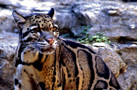 cloudedleopard