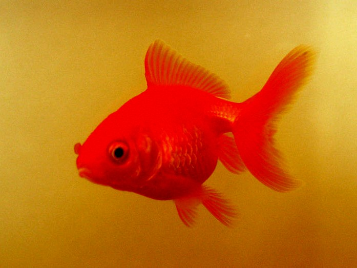 Gallery For > Red Fantail Goldfish