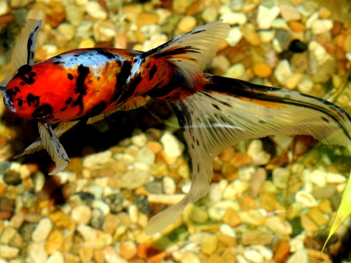 Pictures of goldfish and a short description all for Shubunkin fische