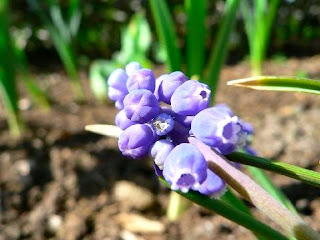 Gift of the dynamic nature:Grape Hyacinth