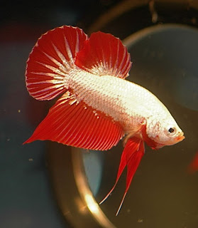 Red dragon betta fighter fish