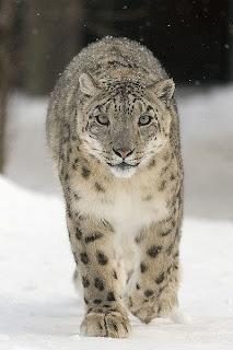 Snow leopard in Pakistan