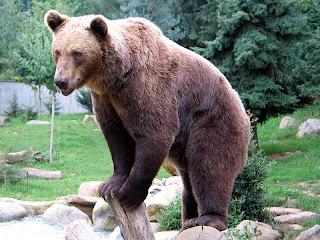 Brown bear of Moldova