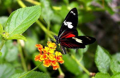Linnaeus butterfly